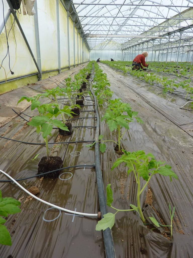 Plants tomates 1