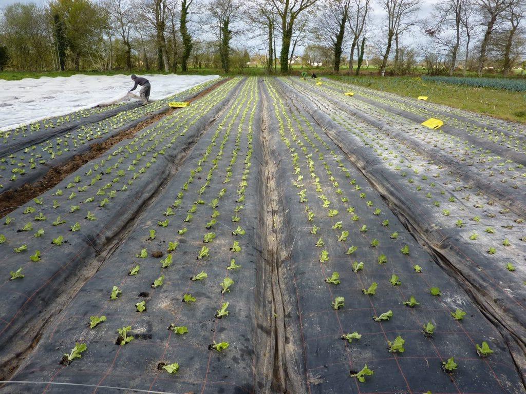 plantation salades avril 2016 1
