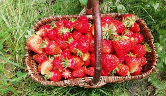 Des fraises !