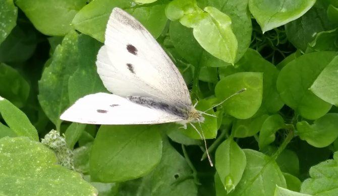 Des papillons…et des chenilles !