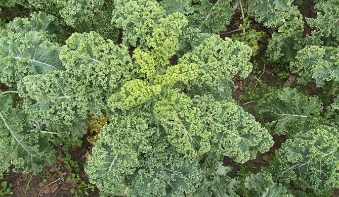 Une nouvelle fiche légume : le chou kale